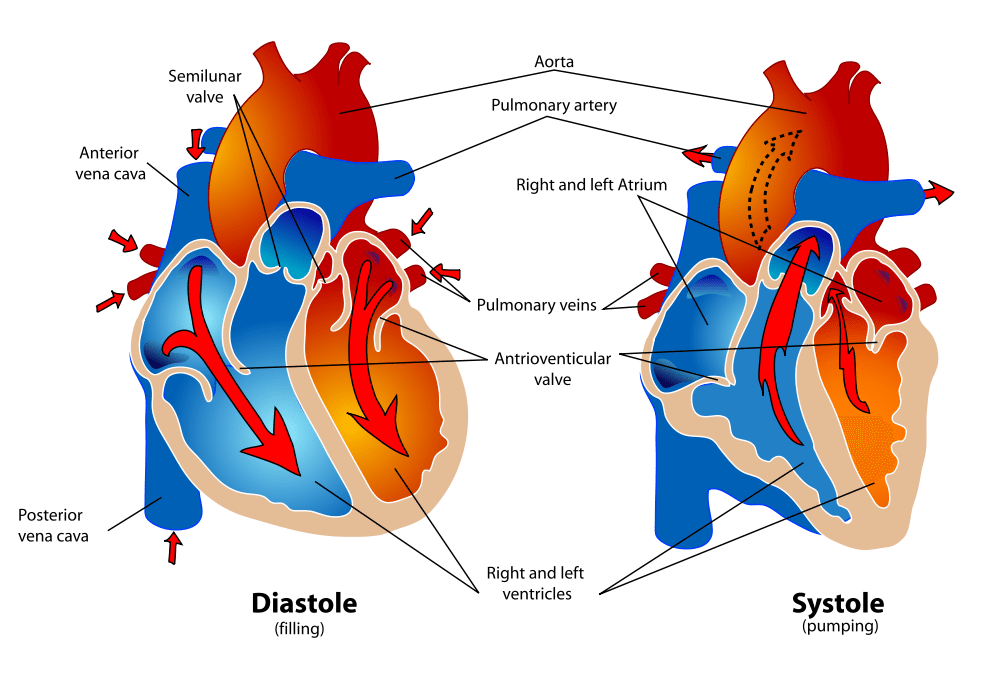 Show me a diagram of the human heart? Here are a bunch ...