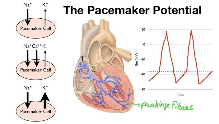 045 The Pacemaker Potential Of The Sa Node And The Av Node