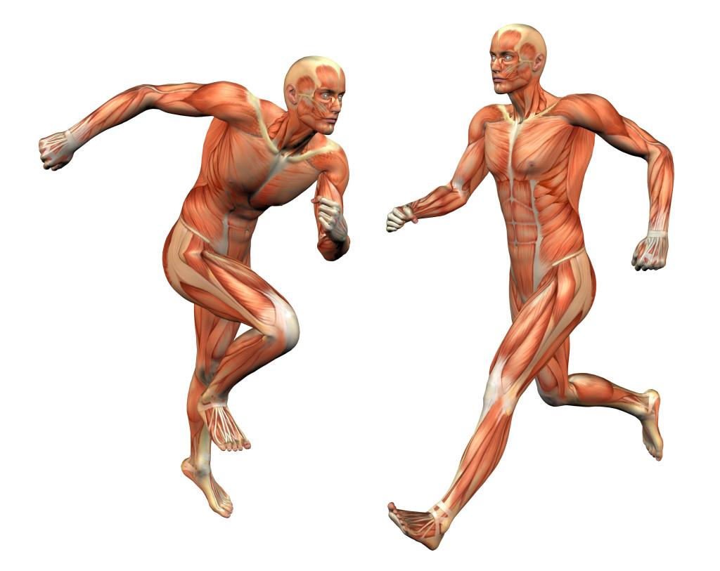 Human Body : Muscular System