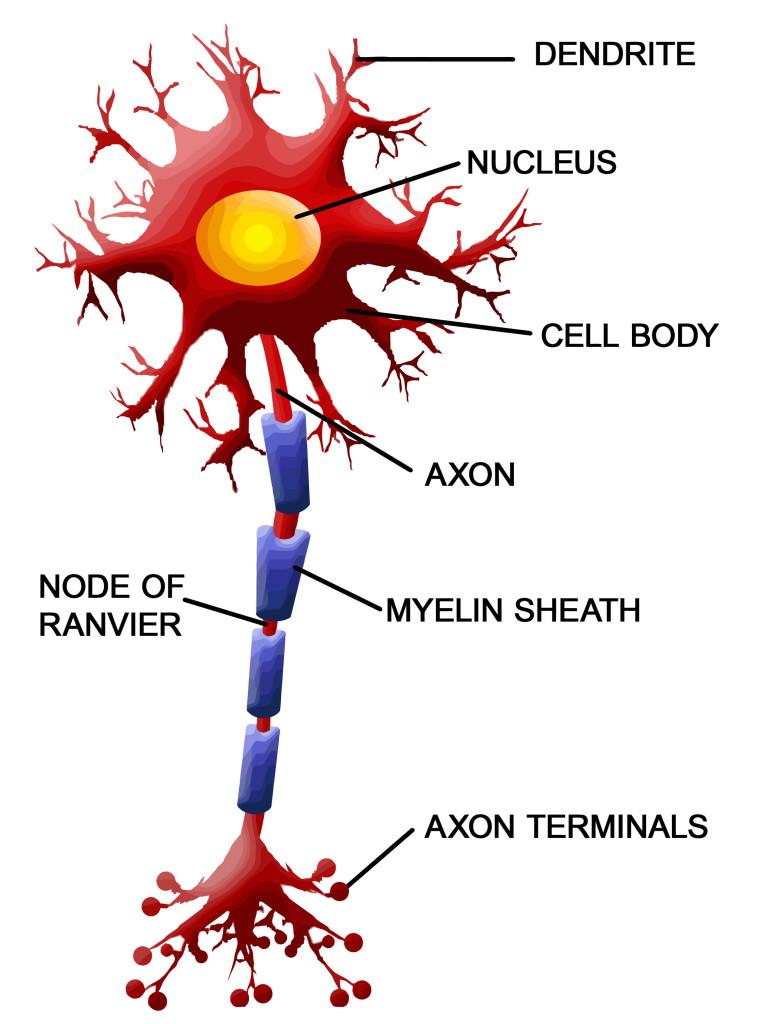 Neuron image 100 - Happy neurone mots coupes ...