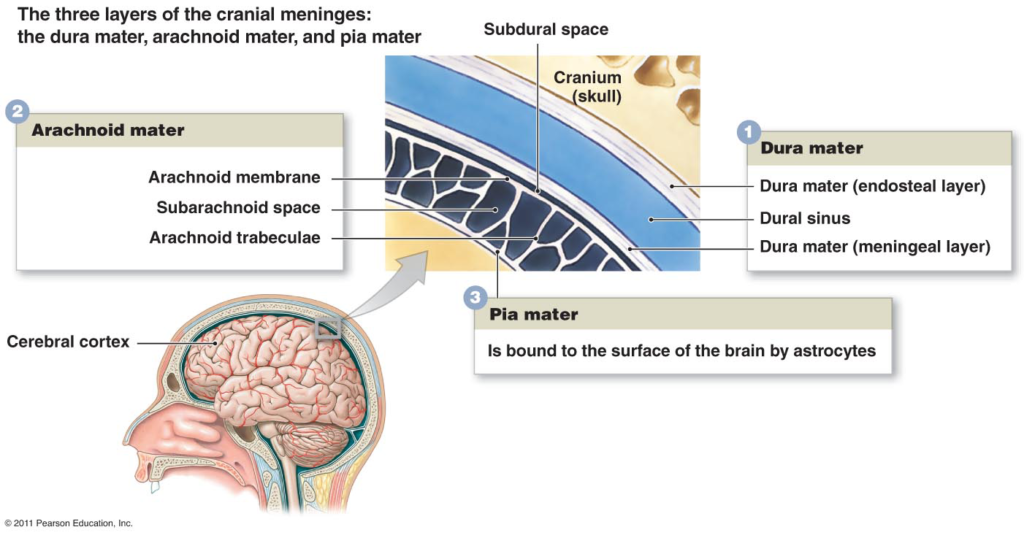 Image shows the 3 Layers of the Cranial Meninges namely the Dura mater, Arachnoid mater, and the Pia mater.