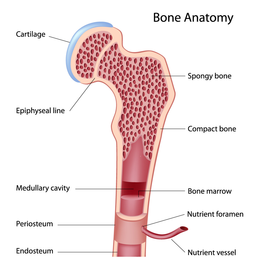 Red Bone Marrow Diagram