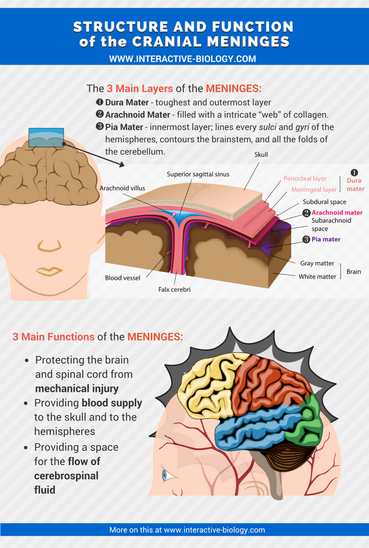 Infographic on the Structure and Function of the Meninges