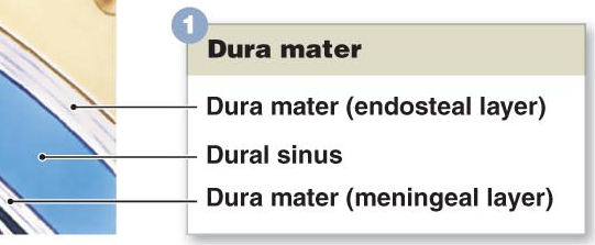 Dura Mater of the Meninges is divided into two layers - the endosteal layer and the meningeal layers.