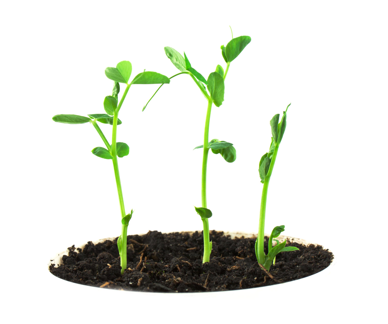 Pea Plant Plants