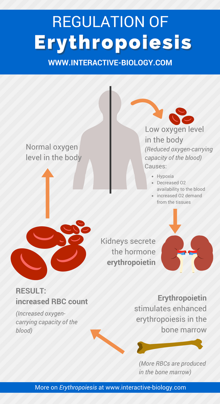 Erythropoiesis Formation Of Red Blood Cells White Cell Diagram For Kids To Tell Infographic