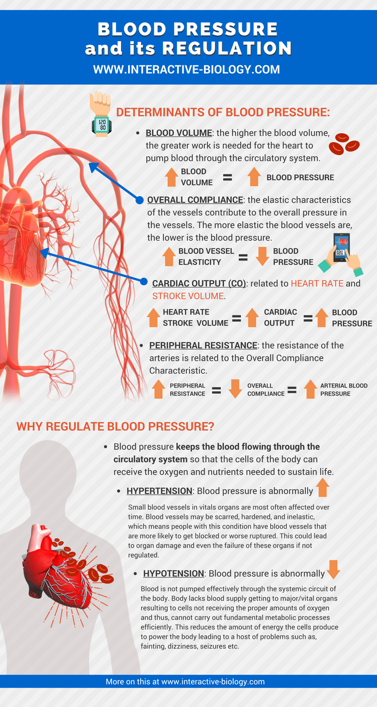 the cardiovascular system blood pressure regulation Neurological regulation of blood pressure and flow depends on the cardiovascular centers located in the medulla oblongata this cluster of neurons responds to changes in blood pressure as well as blood concentrations of oxygen, carbon dioxide, and hydrogen ions.
