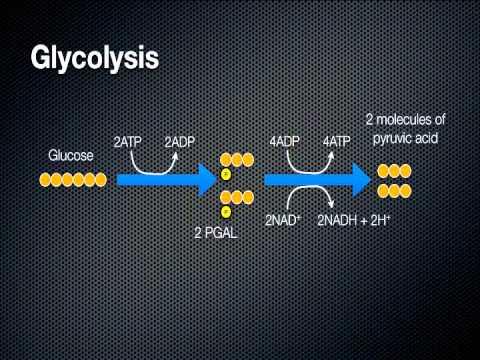 Video: Cellular Respiration