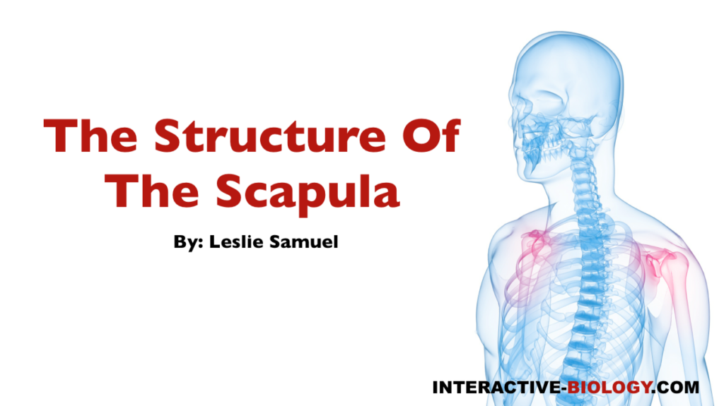 075 The Structure Of The Scapula - Interactive Biology, with Leslie