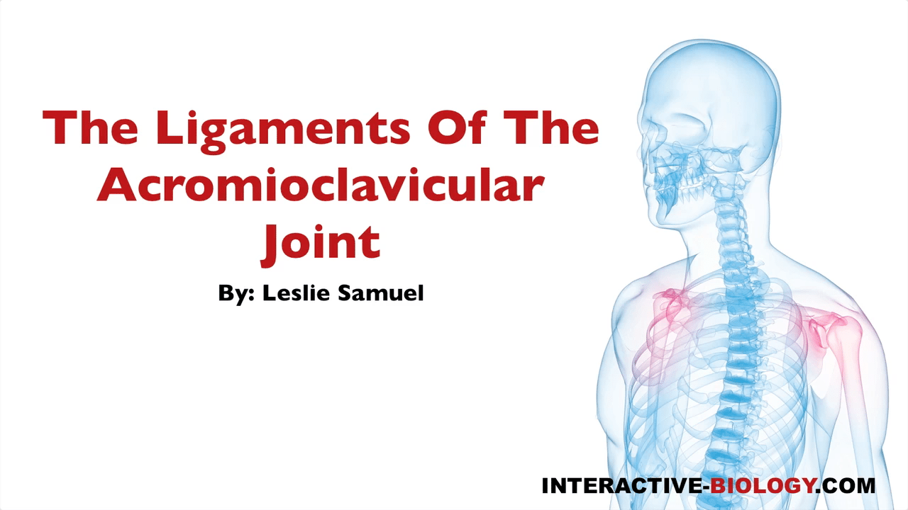 078 The Ligaments Of The Acromioclavicular Joint Interactive