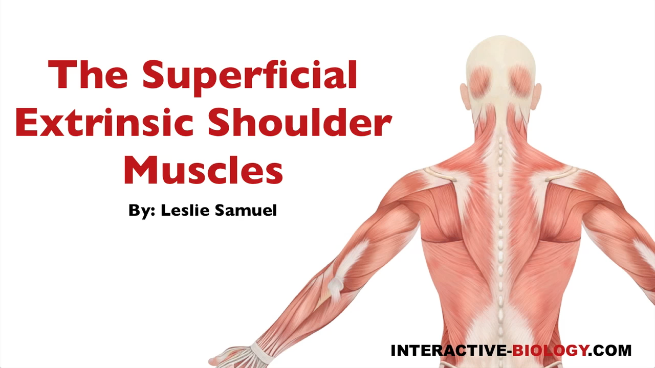 087 The Superficial Extrinsic Shoulder Muscles - Interactive Biology ...