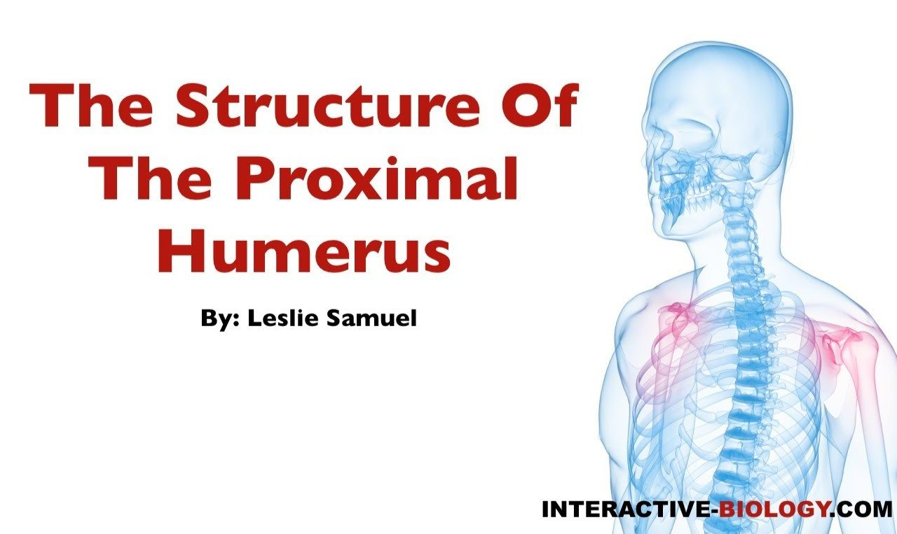 076 The Structure Of The Proximal Humerus - Interactive Biology ...
