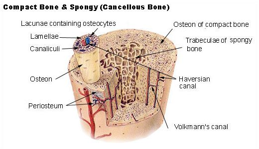 An Introduction to the Skeletal System: Bones and Cartilages ...