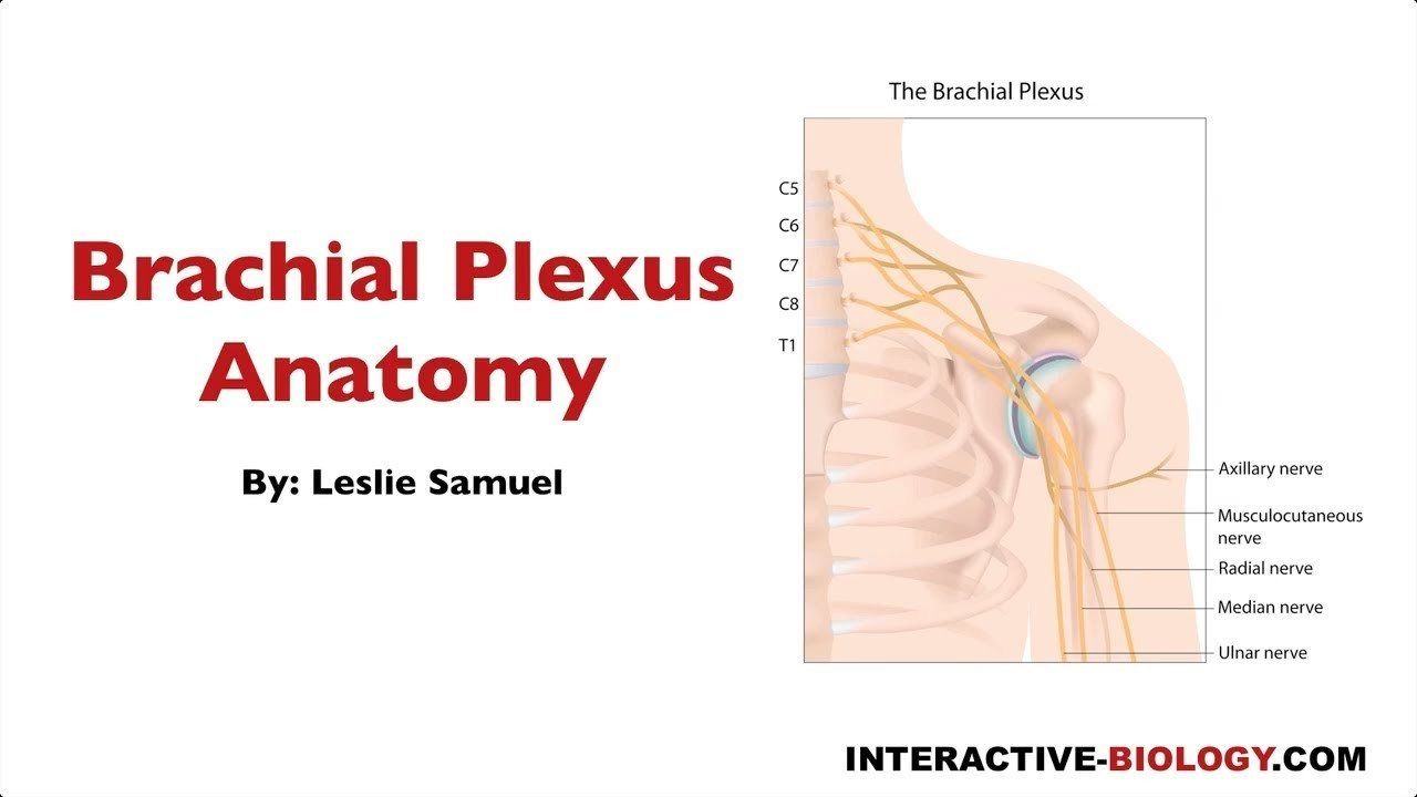 092 Brachial Plexus Anatomy - Interactive Biology, with Leslie Samuel