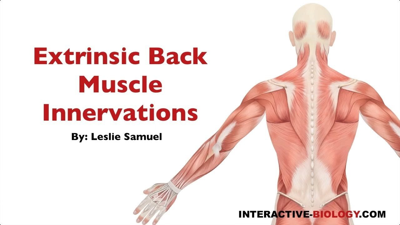 094 Innervations Of The Extrinsic Backshoulder Muscles