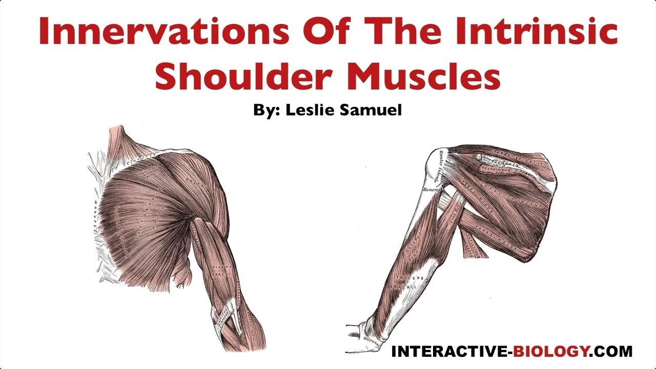 096 Innervations Of The Intrinsic Shoulder Muscles Interactive