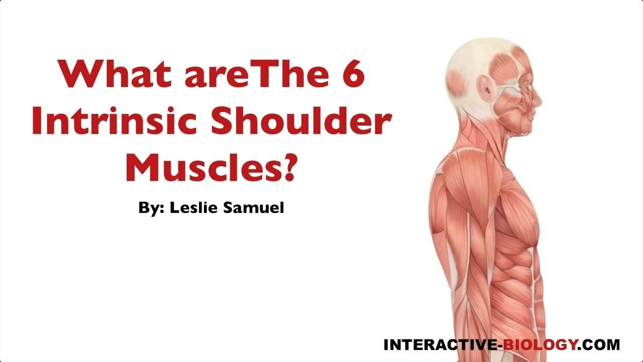 089 What Are The Six Intrinsic Shoulder Muscles Interactive