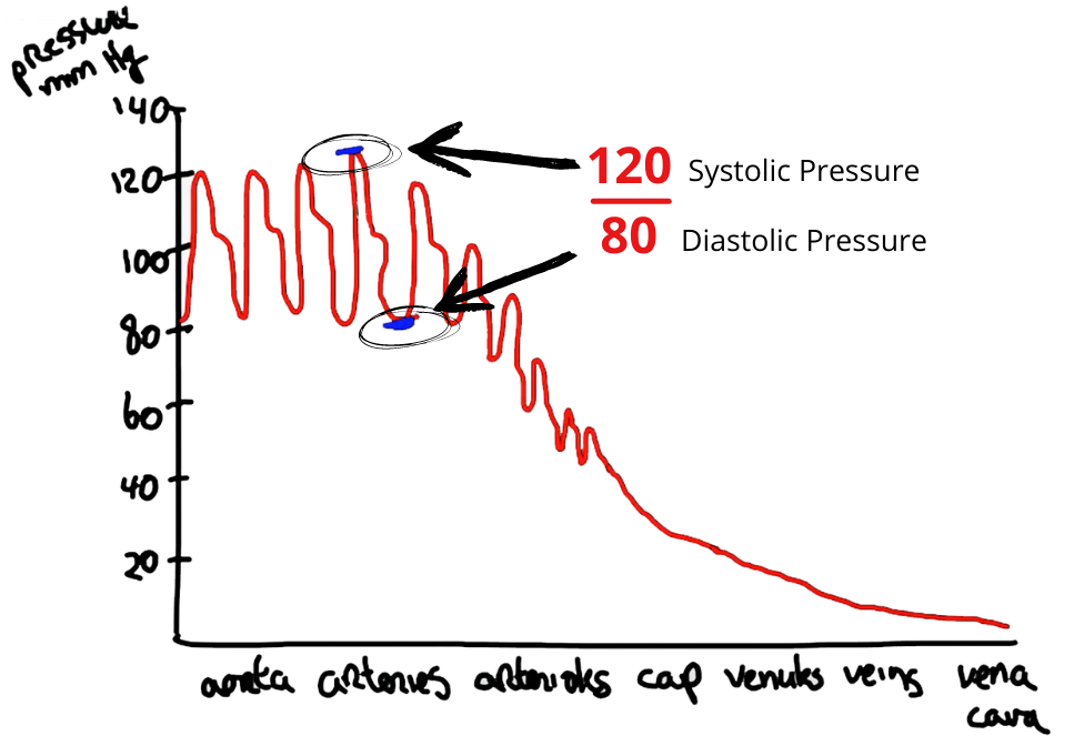 Systolic pressure is measured during contraction. Diastolic pressure is measured during relaxation.