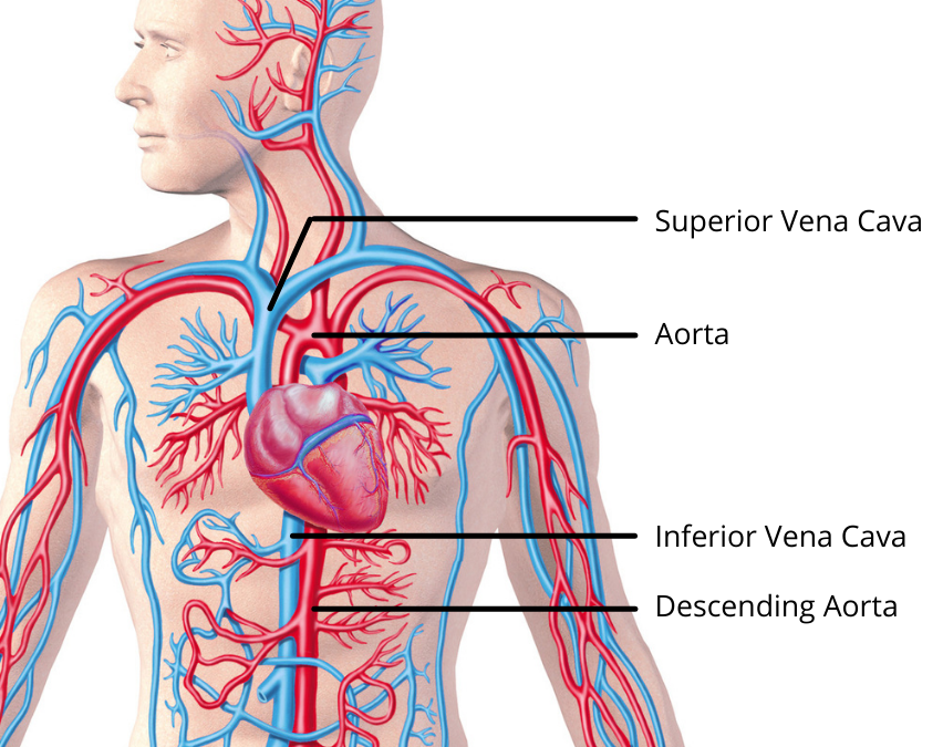 Blood moves away from the heart through the aorta and returns to the heart via the Superior vena cava. The closer you are to the heart, the more you're going to feel the blood pressure.