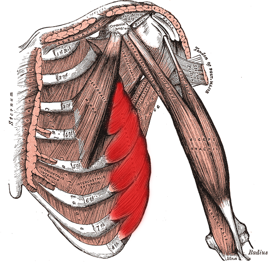 Serratus anterior is so called because it has a characteristic serrated appearance.