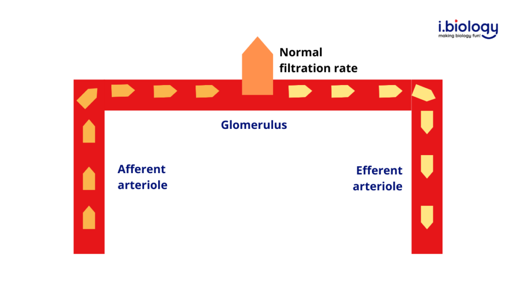 Blood flows normally from the afferent to the glomerulus and to the efferent arteriole. Normal filtration rate is achieved.