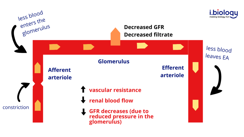 Effect of afferent arteriolar vasoconstriction on glomerular filtration rate. There is increased vascular resistance, decreased renal blood flow and decreased GFR. As a result less glomerular filtrate is produced.