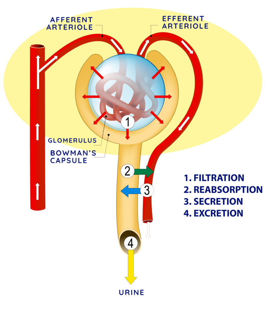 The nephron with emphasis on the renal corpuscle.