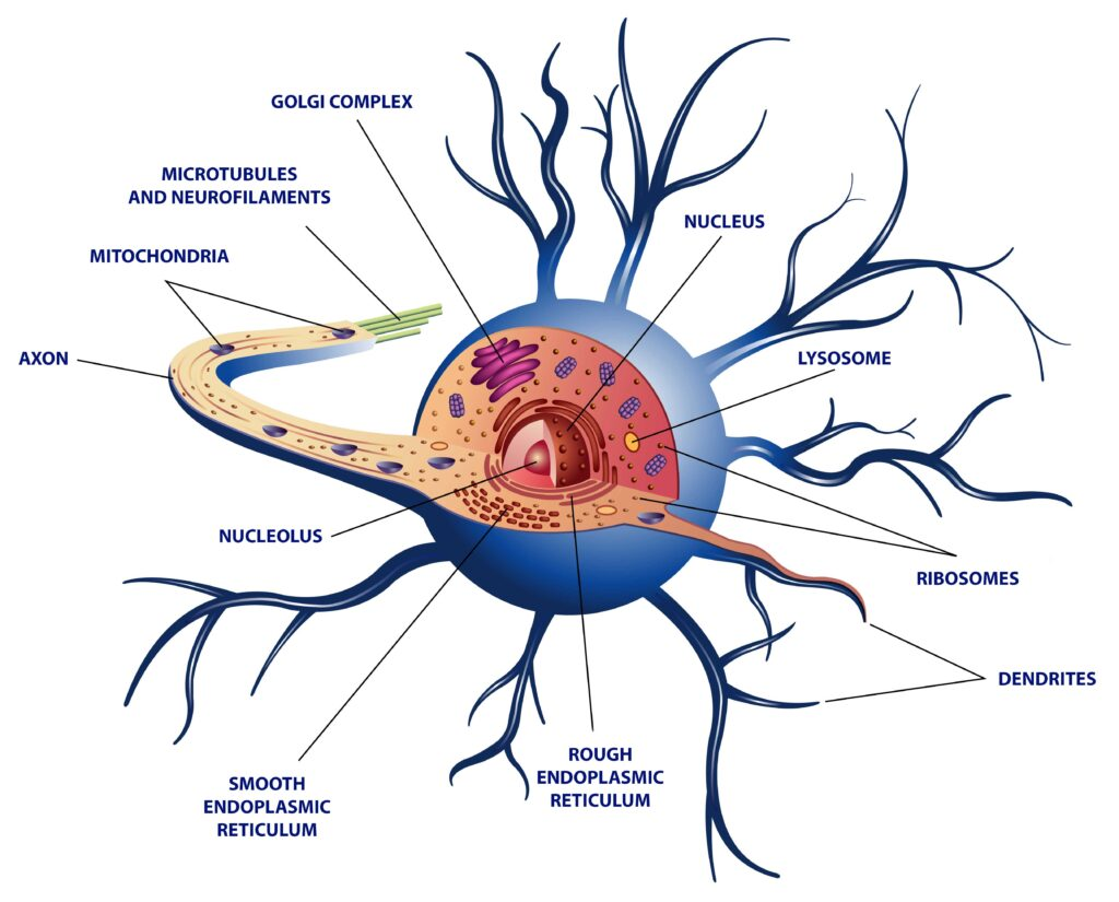 Just like any other cell, the internal parts of a neuron includes the following as labeled on the image: the nucleus, nucleolus, golgi complex, mitochondria, smooth and rough endoplasmic reticulum, ribosomes, lysosomes, and microtubules and neurofilaments.
